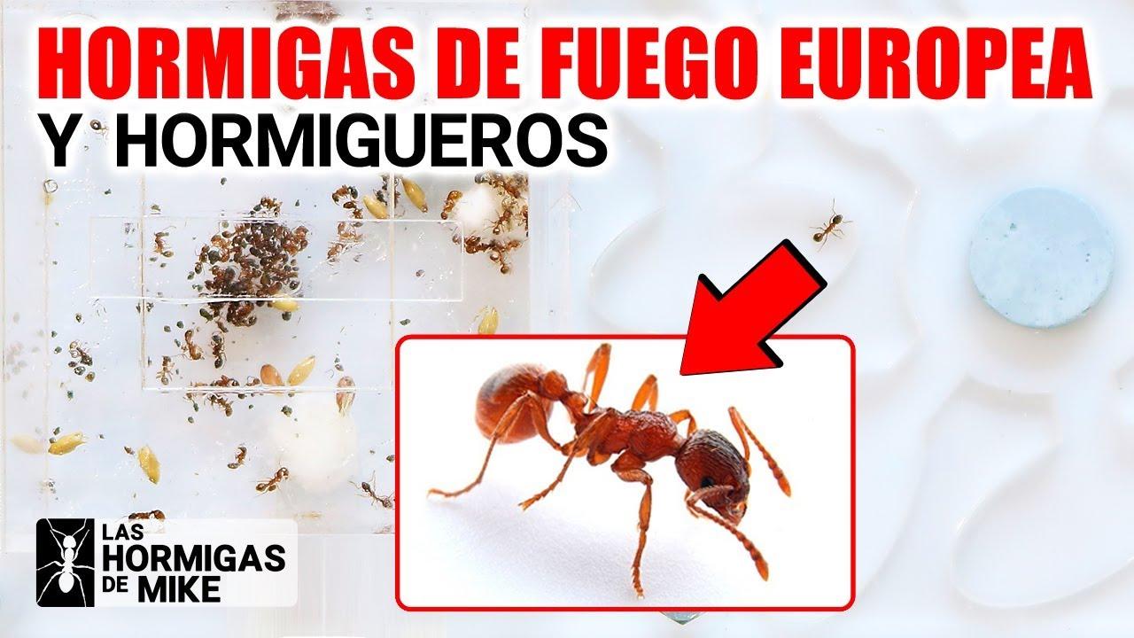 Hormigas de Fuego Europea y Hormigueros | Las Hormigas de Mike