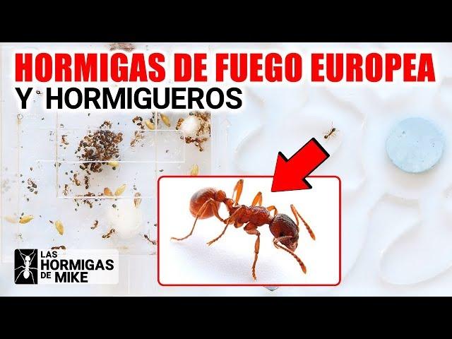 Hormigas de Fuego Europea y Hormigueros   Las Hormigas de Mike