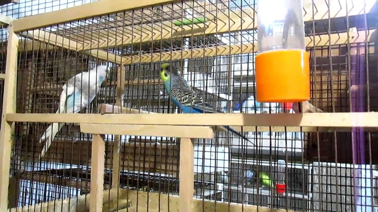 Попугаи, в гостях у заводчика попугаев - YouTube