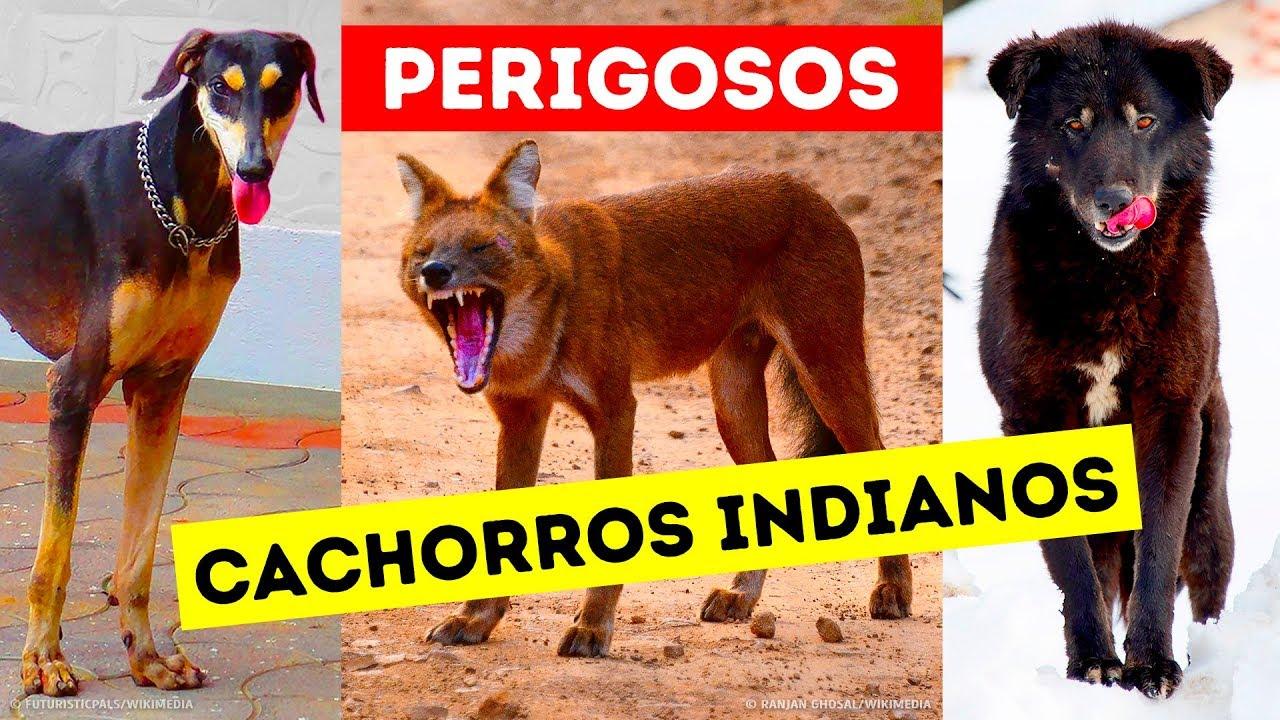 9 Raças de Cães Perigosas, Que os Indianos Ainda Mantêm Como Animais de Estimação