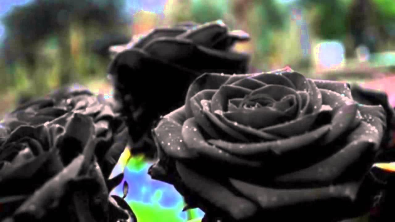 Sabias Que Existen Las Rosas Negras Youtube