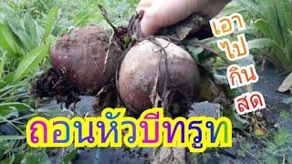 8 ธันวาคม ค.ศ. 2018 เก็บบีทรูท เก็บพริกทอดสเปนที่ยังเหลือ แกะเมล็ดเอากลับไปไทย