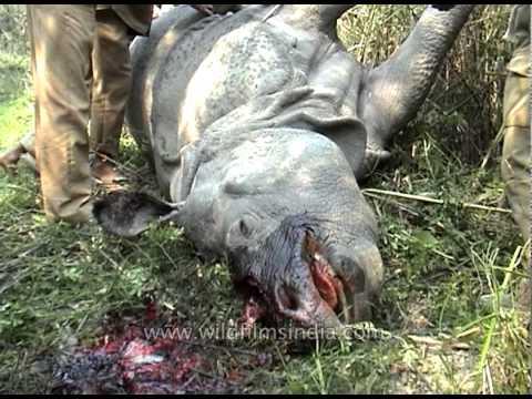 Rhino poaching crisis at Kaziranga National Park, Assam