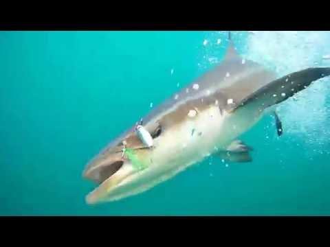 Cobia underwater shot fishing off Pekan, Malaysia
