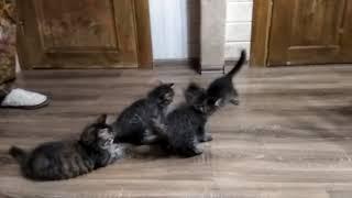 Сибирские котята питомника Из Одиссеи