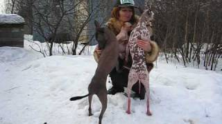 "Мексиканская голая собака зимой (п-к ""Хармекс"")"