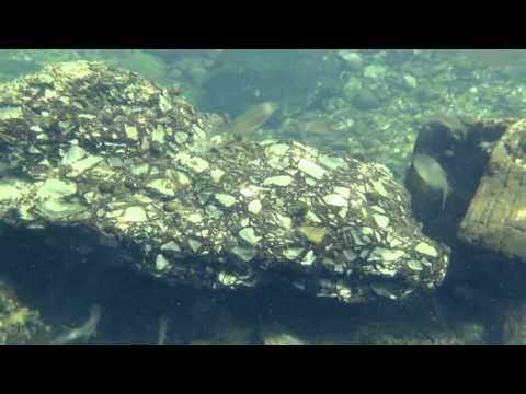 沖縄の川 カワスズメ オオウナギ スッポン (水中撮影2015)