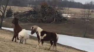 Livestock guardian dog plays with the horses - 1026753