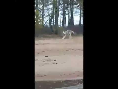 Волк в районе Белогорска