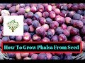 How to grow falsa Plant from seed | Phalsa Berries | Grewia asiatica | Urdu/Hindi