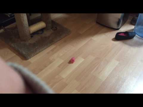 CAT PLAYING WITH MENSTRUAL CUP