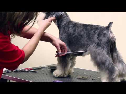 Schnauzer Trim - Groomers Gallery Preview