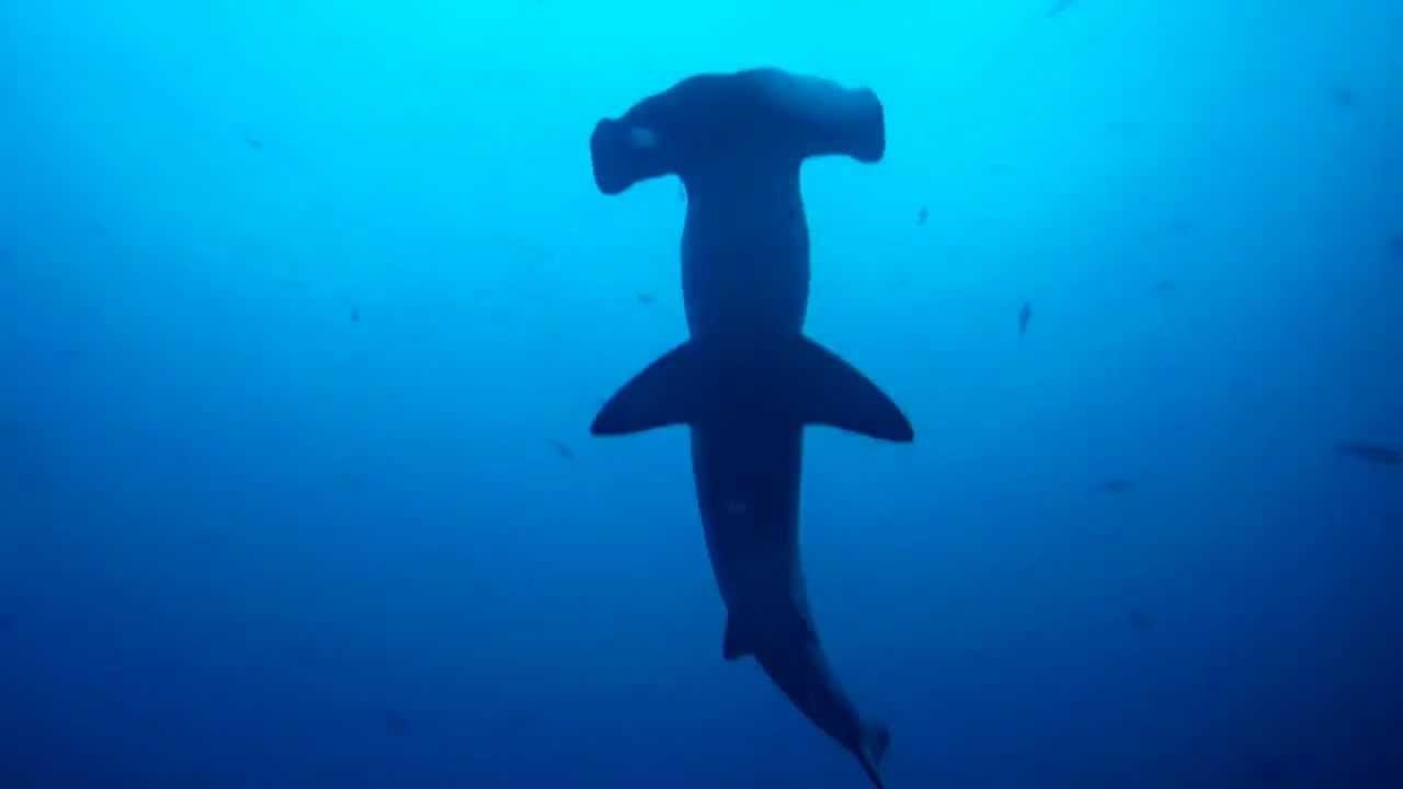 Tiburón Martillo - La Nevera, Malpelo (Colombia) - YouTube