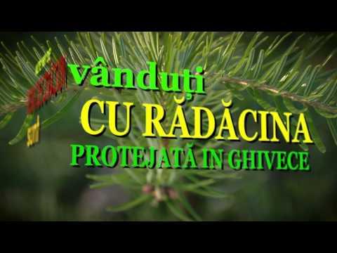 De unde provin pomii de Crăciun recoltați de Romsilva