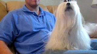 Wendy's Barking Maltese Audition Take 1