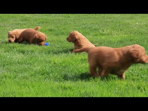 Miniature Labradoodle Puppies For Sale