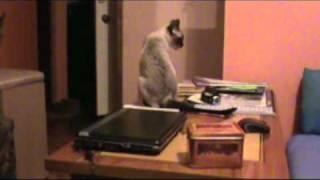 Поющая тайская кошка