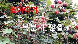 꽃 이야기  복분자 꽃 전설  청남 권영한의 이야기