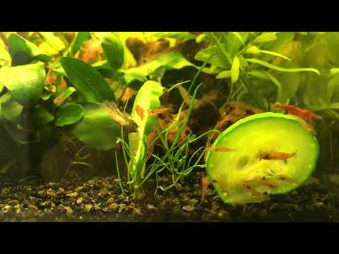 How To Feed Cucumbers To Shrimp And Otocinclus