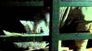 White Rhino Eating - Western Plains Zoo, Dubbo