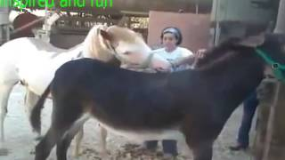 Horses and donkeys mating to birth mule