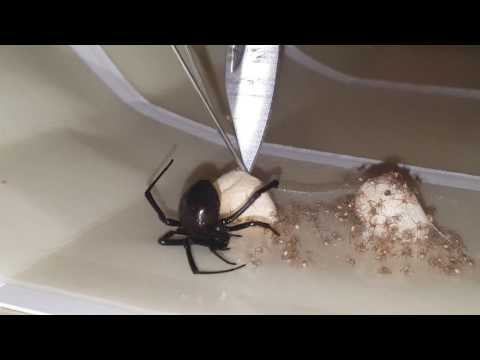 Black Widow Caught On Glue Trap Eggs Hatching