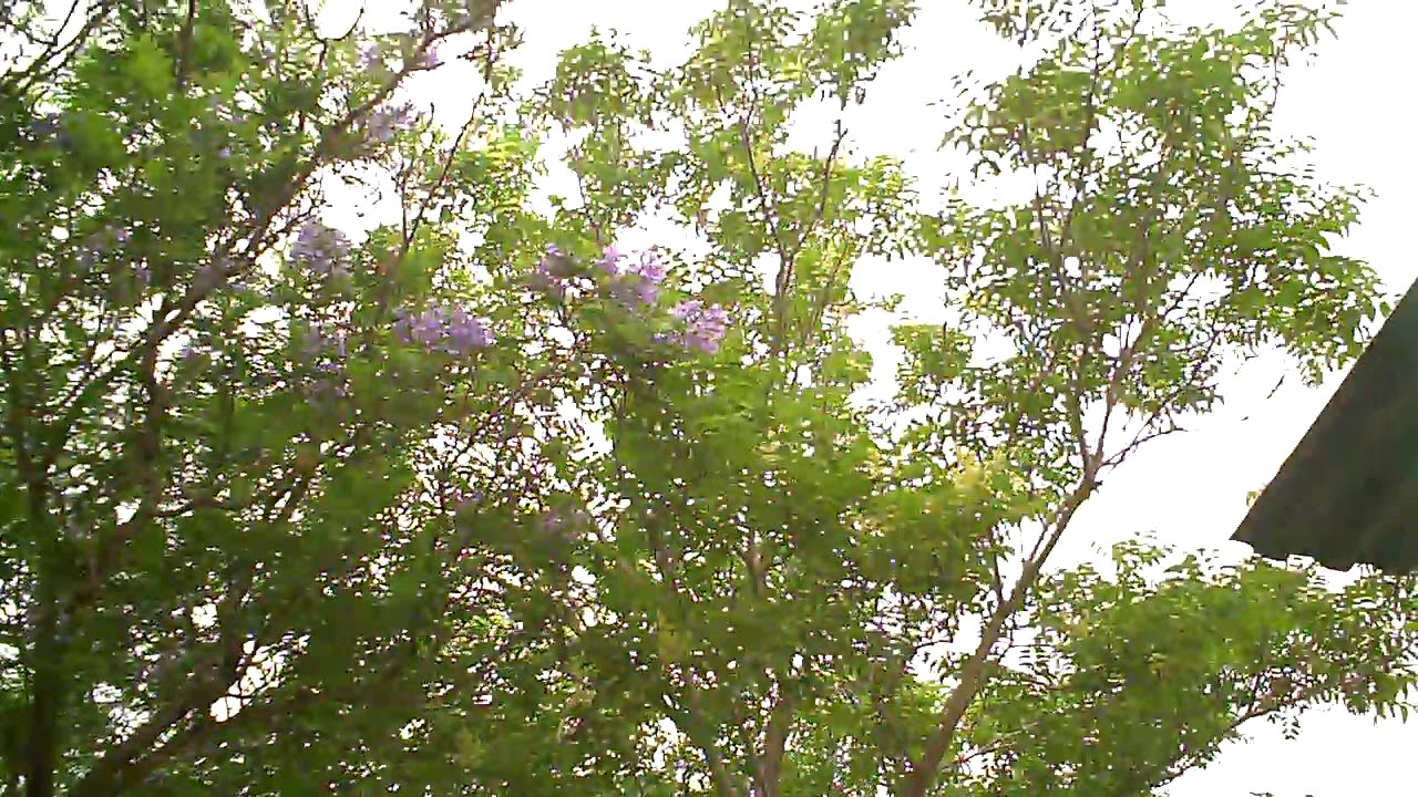Tree with blue flowers early may 2018 in jerusalem 1 youtube tree with blue flowers early may 2018 in jerusalem 1 izmirmasajfo