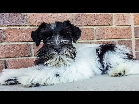 ADORABLE Trained Miniature Schnauzer Puppy For Sale - Theo