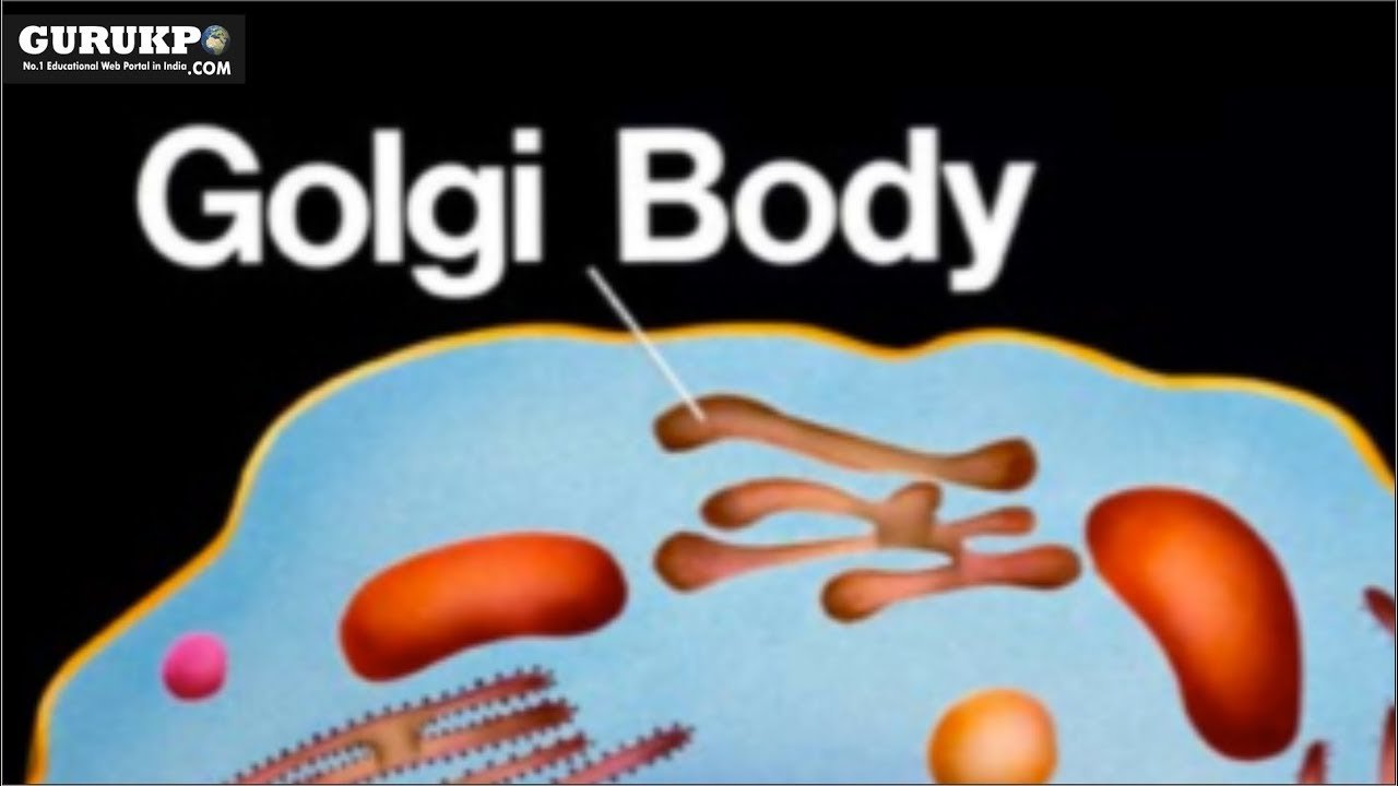 what is the definition of golgi body