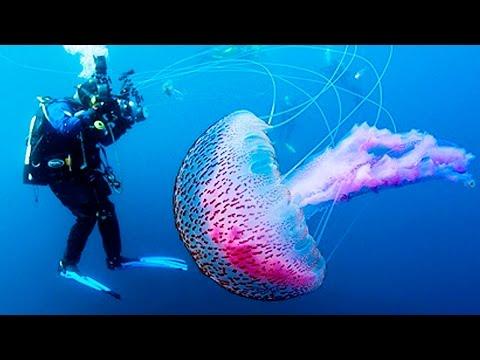 Как размножаются медузы википедия