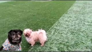 ДиДжек(кличка собаки) на разминке перед матчем