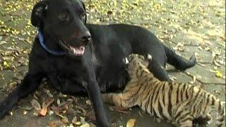 Dog Nurses Tiger Cub