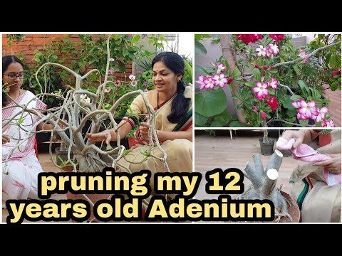 Adenium Pruning Tips/ఇలాగ