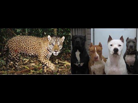 onÇa-pintada-vs-4-pitbulls-(mito-ou-realidade??)
