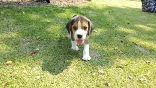 Beagle Jogging @park.  Puppyworldss .thailand