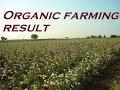 Cotton (Kapas) nu result by Netsurf organic product