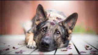 かっこいい犬代表のジャーマンシェパード   その子犬もまためっちゃかわ...