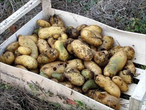 110 r colte des pommes de terre 12 10 2017 youtube - Pomme de terre sous paille ...
