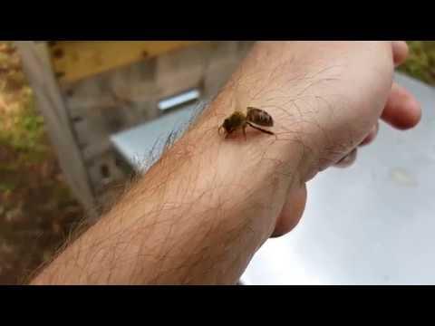 Что нужно сделать если ужалила пчела