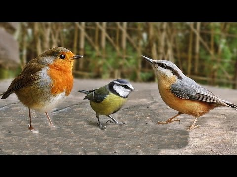 Video for Cats - Birds Tweeting on The Bench