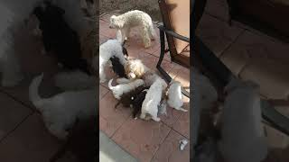 footage of the puppies like I promised poodle shitzu chihuahua terrier mix!