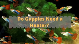 Do Guppies Need a Heater?