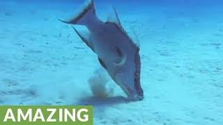 Bizarre hogfish puts on close-up show for scuba divers thumbnail