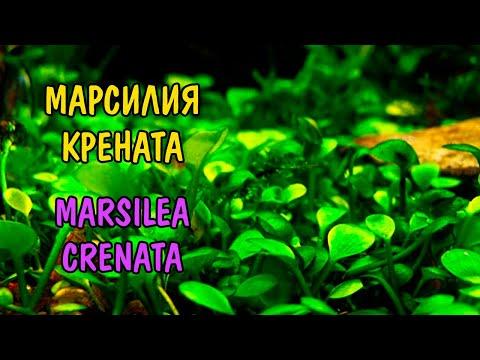 МАРСИЛИЯ КРЕНАТА ( MARSILEA CRENATA )