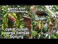 Berburu Puna Burung Uncal Dan Walik Kembang Edisi Berkah Ramadhan  Mp3 - Mp4 Download