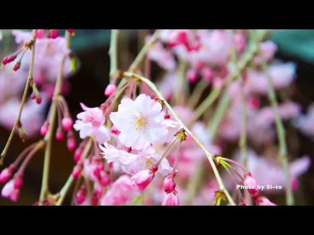 桜の季節/EXILE ATSUSHI(Si-to's Cover)