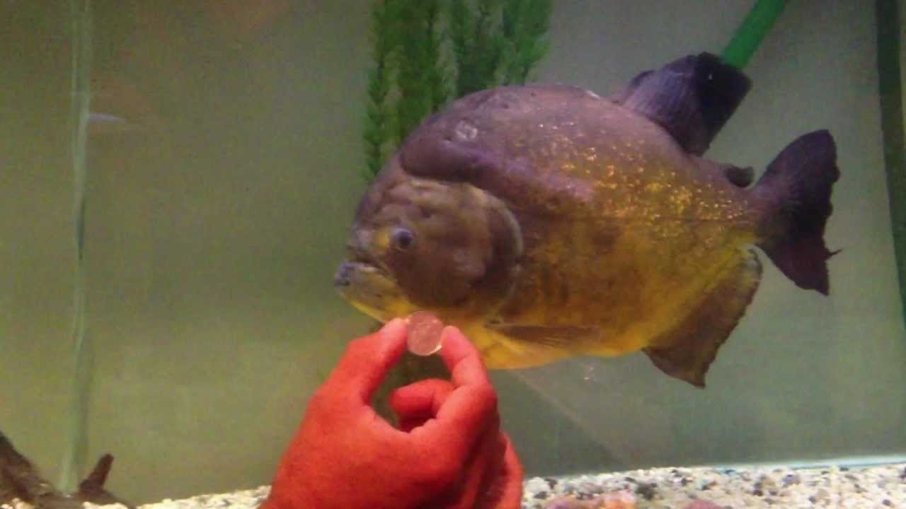 Worlds Biggest And Largest Piranha In Captivity Youtube