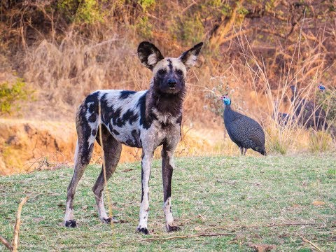 Wild Dogs Chase A Hyena And Then A Baboon Chases The Wild Dogs Youtube