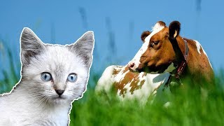 Cow Videos for Children _ Cows and Strange Kitten