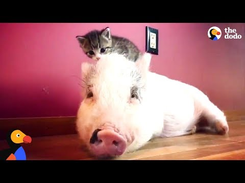 Pig Raised By Cats Thinks Hes One Of Them Now - DRAGONLORD UPDATE | The Dodo